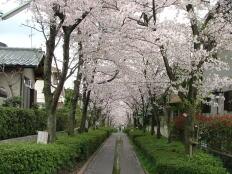 桜並木遊歩道