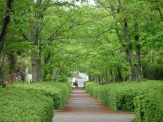 新緑の桜並木遊歩道