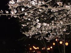 桜まつりライトアップ バス通り