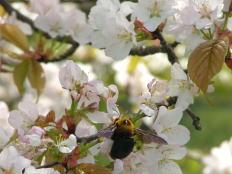 遅咲きのサクラ こもれび池放水路