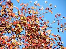 ナンキンハゼの紅葉と白い実