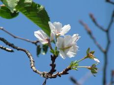 季節はずれの桜 (3丁目M宅)