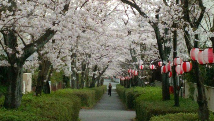 恒例の桜まつり